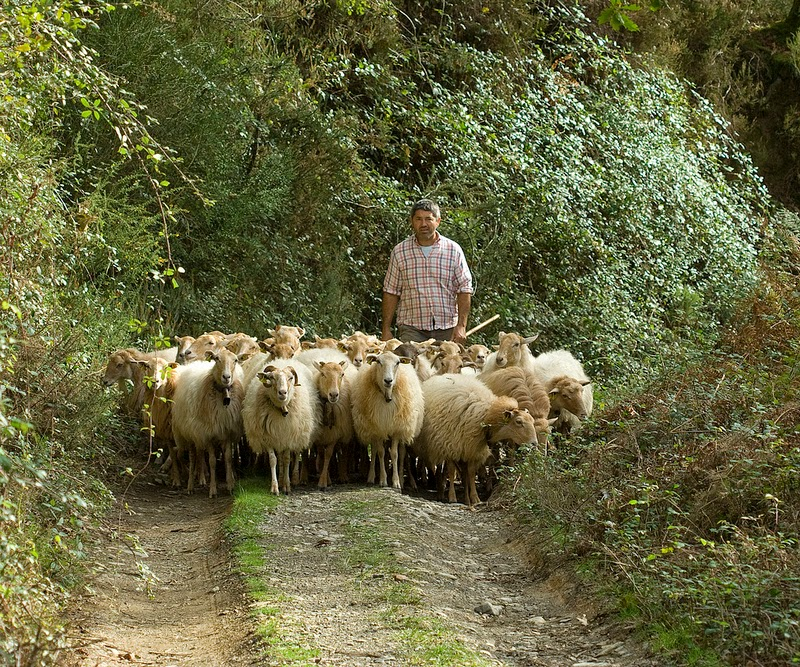 Sheep on Forest Path
